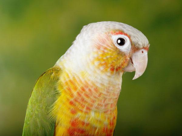 Pineapple Conure Care Food Profile Vivo Pets