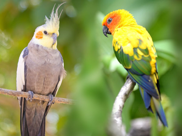 Cockatiel vs Conure - What Is the Difference? - VIVO Pets